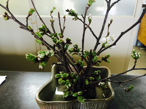 201504 桜2